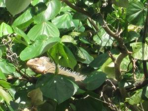 Passing Iguana