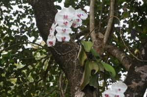 Orchids growing naturally on a tree