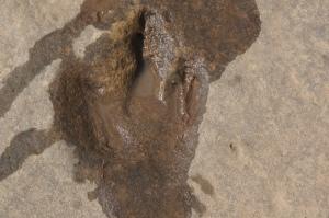 3-toed dinosaur footprint - really!