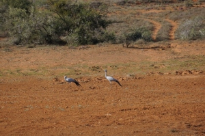 Blue cranes - the national bird of SA
